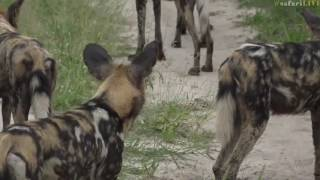 March 03, 2017- Wild Dogs Meet Giraffes