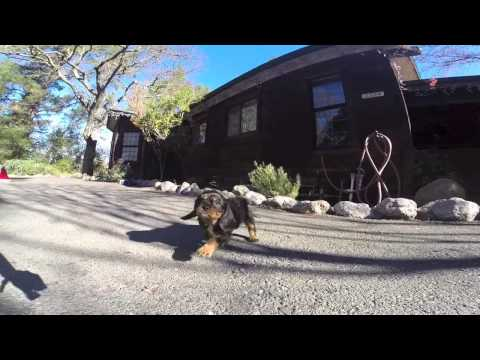 Layla - female Cavalier video