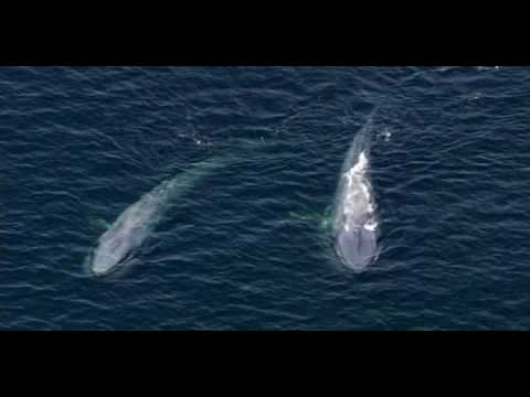 Blue Whale - The Largest Animal Ever To Have Existed Mp3