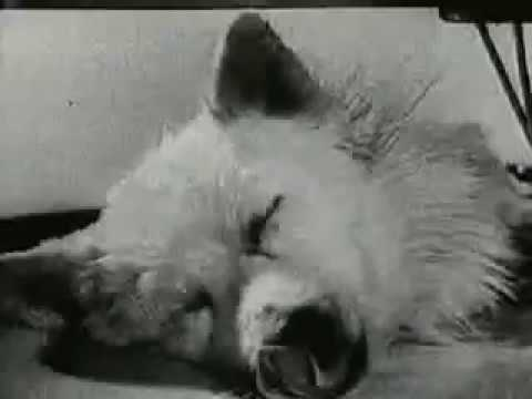 Russian Dog Experiment – Living without a body :(