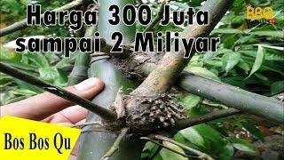 FAKTA BAMBU PETUK HARGA 300 JUTA HINGGA 2 MILIYAR JIKA DIJUAL DILUAR NEGERI