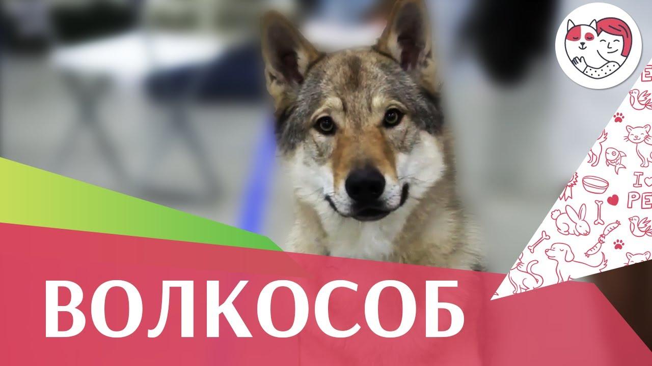Чехословаткая волчья собака на Евразии 17 ilikepet