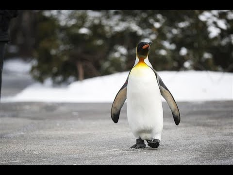 Biggest King Penguin Colony Sees A Catastrophic Drop