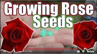 How to grow Roses from Seeds (Step By Step)
