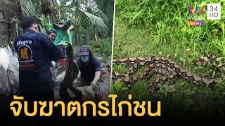 เลี้ยงไก่ชนหายไปหลายตัว เจอฆาตกรที่แท้งูเหลือมสองตัวใหญ่