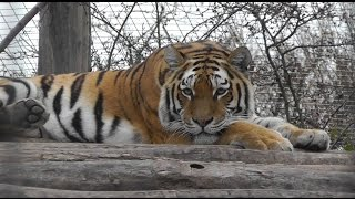 preview picture of video 'Sibirischer Tiger (Panthera tigris altaica) - Siberian tiger - Zoo Vienna'