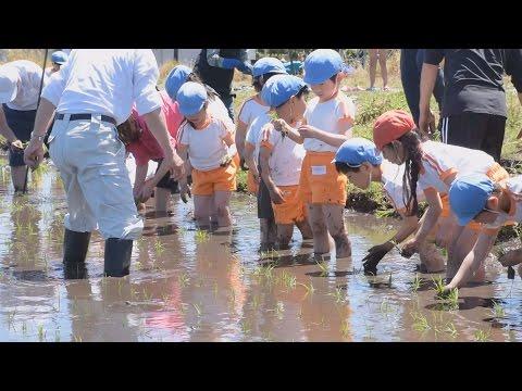 泥にまみれ田植え楽しむ 北茨城・中郷保育園の園児