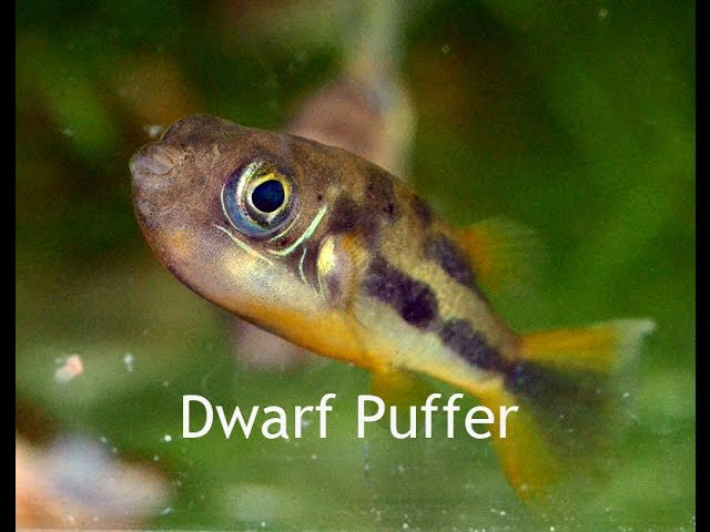 Dwarf Puffers- Small and Sassy!