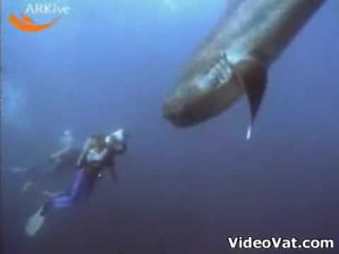 0 Megamouth Shark