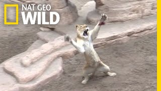 Rescued Lions and Tigers Re-Learn How to Hunt | Nat Geo Wild