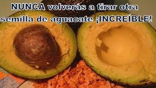 La semilla de aguacate beneficios propiedades usos. The avocado seed,