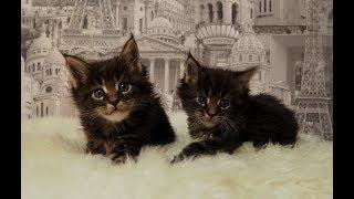 """Котята мейн кун VI сезон помёт """"J""""  """"Lovitven"""" online.  Эти котята продаются!!!"""