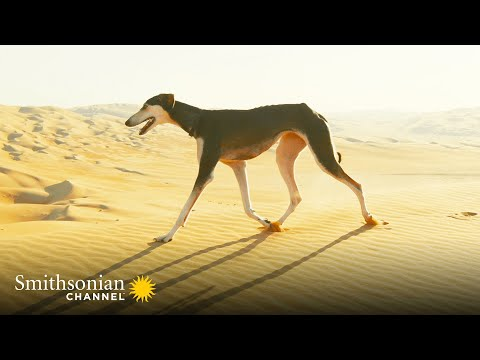 This Unusual Arabian Dog Is Built For Speed