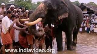 Elephant feeding at Akkare Kottiyoor temple