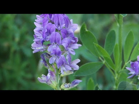 Alfalfa Helps With Cancer, Multi Drug Resistant Tumor Cells, Chemotherapy