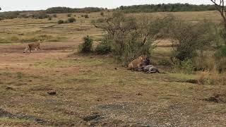Lion kill a wildebeest crossing Mara River, Masai Mara, 2017