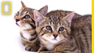 Rescued Scottish Wildcat Kittens Among Last of Their Kind | National Geographic