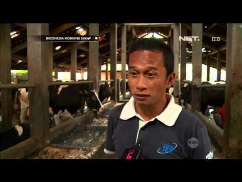 Video Bisnis Sapi perah - IMS