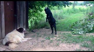 Crazy goat annoying the dog