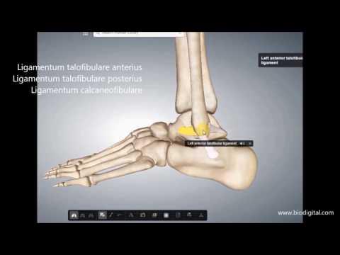 Bänder und Bewegungsausmaß Fuß