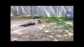 Nephin Kennels American Bandogge Mastiff's 7-9 weeks