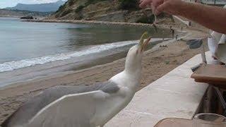 preview picture of video 'Moraira El Portet - hungrige Möwe, hungry seagull, la gaviota hambrienta'