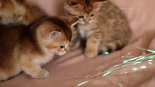 яркие котята из питомника Малый Лев