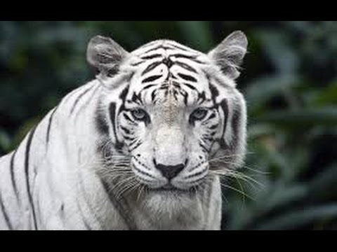 The White Siberian Tiger and Bengal Tiger