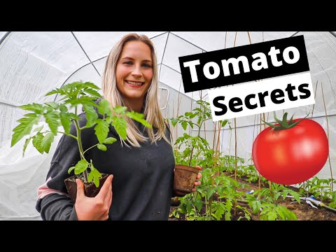 The Secret To Growing Tomatoes   How To Grow Tomatoes For Beginners