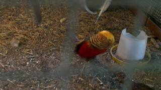 Red golden pheasant's mating dance