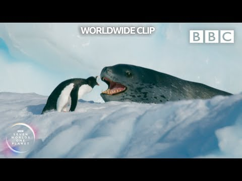 Leopard seal strikes penguin through crumbling ice! 😰 - Seven Worlds, One Planet - BBC