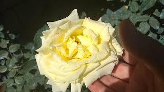 Обзор цветения роз на тему: Какой цветок живёт долго