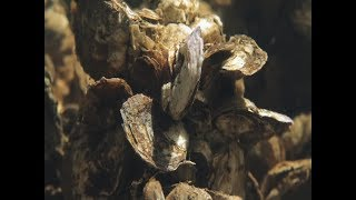 How to build an oyster reef | UNC-TV