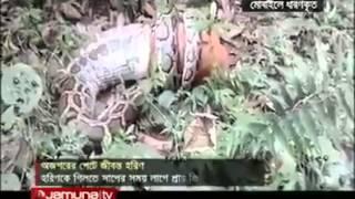 snakes eating deer (video)