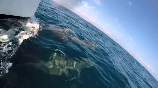 preview picture of video 'Dolphins at the Bow, Placencia, Belize'