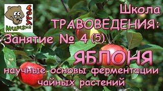 Школа ТРАВОВЕДЕНИЯ. Занятие № 4(5) ЯБЛОНЯ: научные основы ферментации чайных растений