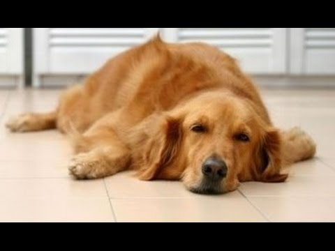 Video Home Remedies to Get Rid of Kennel Cough