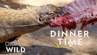 Feeding a Komodo Dragon  | Secrets of the Zoo: Down Under