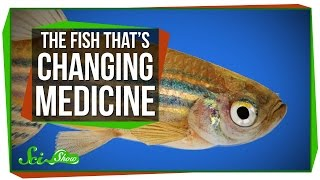 SciShow - The Tiny Fish That's Changing Modern Medicine