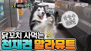 A genius Malamute dog which knows how to buy a chicken skewer on its own!!