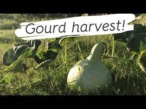 Oh My Gourd!  🍁 Time to harvest! Gardening