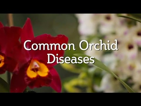 , title : 'Common Orchid Diseases
