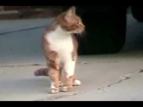 angry cats hissing