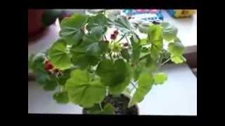 Пышная Герань(Пеларгония) и простой уход за ней видео