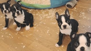 Boston Terrier Puppies - Week 6