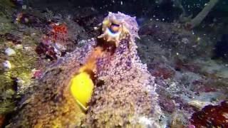 One Pissed Off Octopus – Scuba Tech, Destin, FL 07/30/16