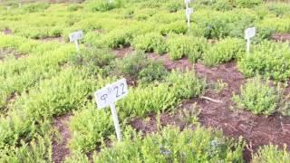 Семилетняя плантация голубики узколистной