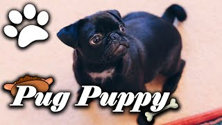 How To Train Your Pug