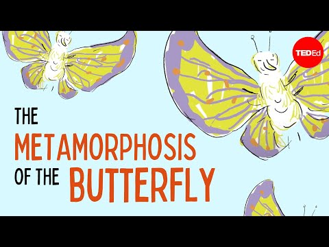 The weird and wonderful metamorphosis of the butterfly - Franziska Bauer