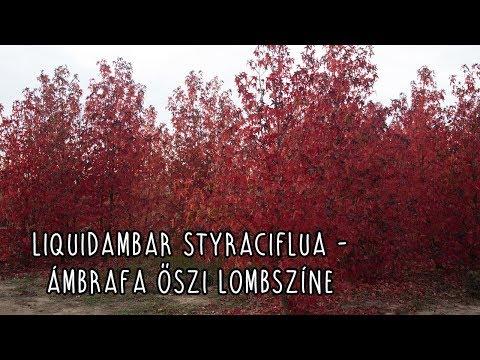 Liquidambar styraciflua - Ámbrafa őszi lombszíne letöltés